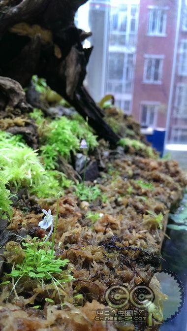 狸藻开花了, 禾叶狸藻和小白兔狸藻 综合讨论区