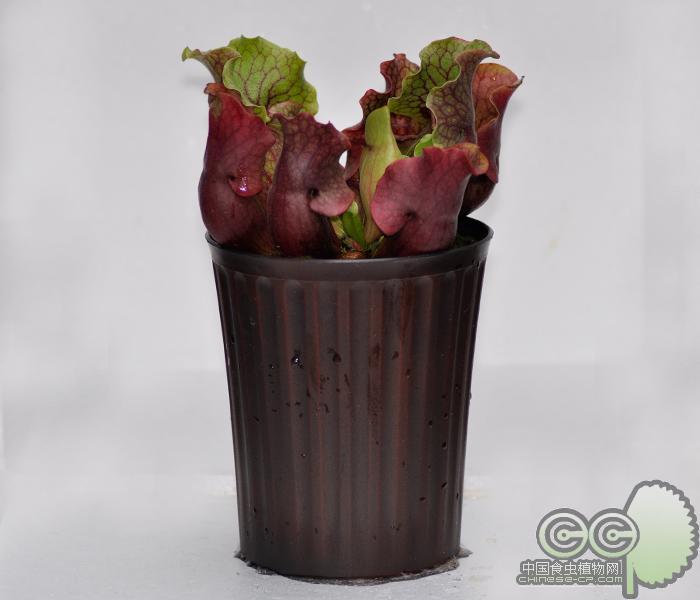 桶形条纹花盆(ft160)塑料|古铜色喷漆|加仑盆||外贸