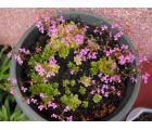 丹波花柱草(Stylidium debile)
